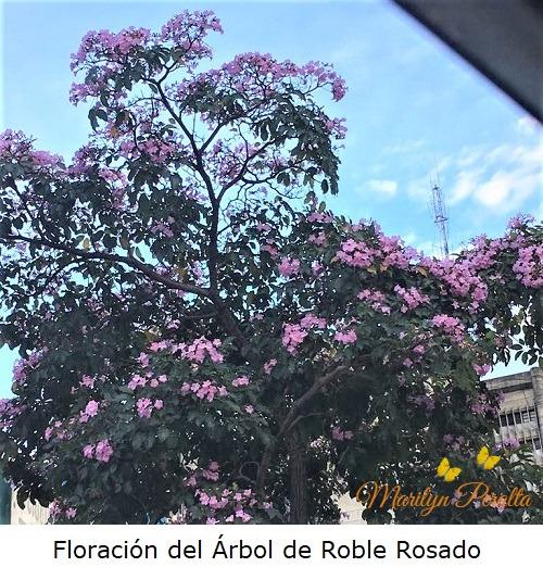 Floracion del Arbol de Roble Rosado
