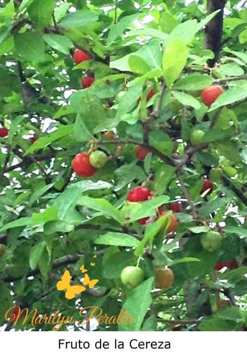 Fruto de la Cereza 1
