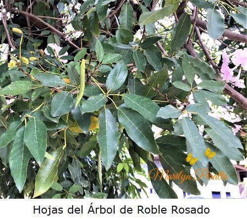 Hojas del Arbol de Roble Rosado