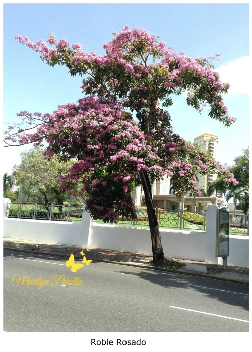 Roble Rosado - Tabebuia rosea A