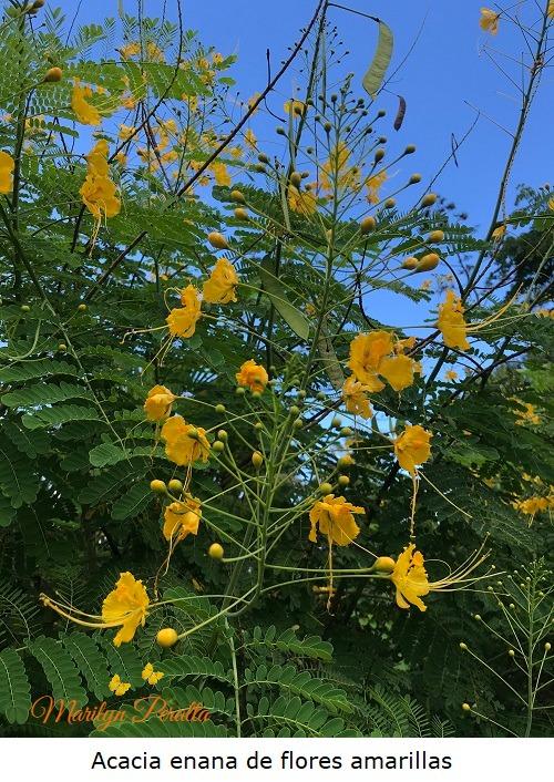 Acacia enana de flores amarillas