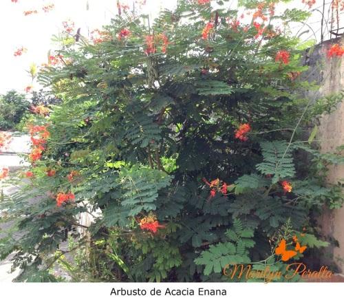 Arbusto de Acacia Enana