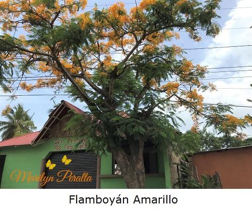 Flamboyán Amarillo
