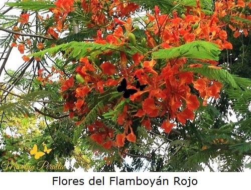 Flor del Flamboyán