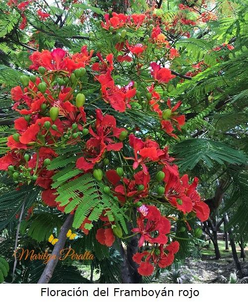 Floración de Framboyan Rojo