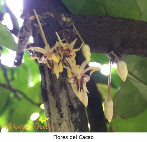 flores-del-cacao