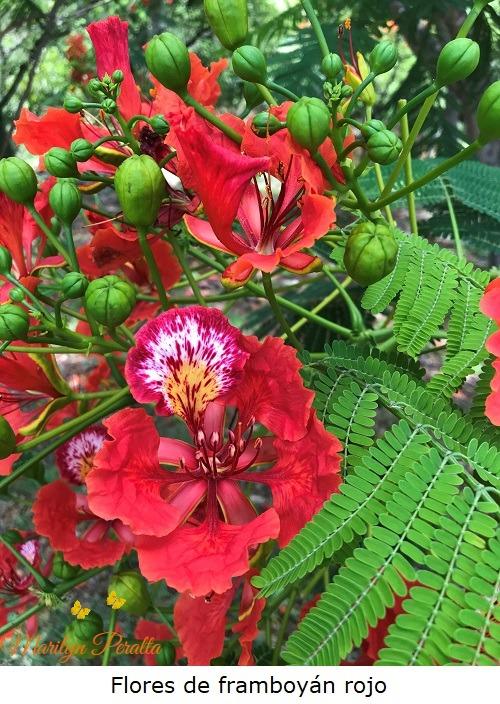 Flores del Flamboyan rojo