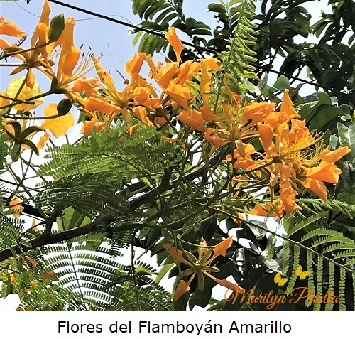 Flores del Flamboyán Amarillo