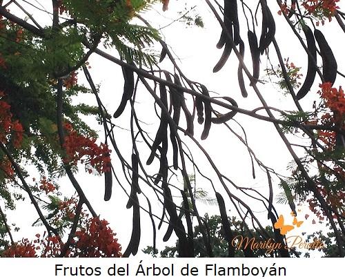 Frutos del Arbol de Flamboyán