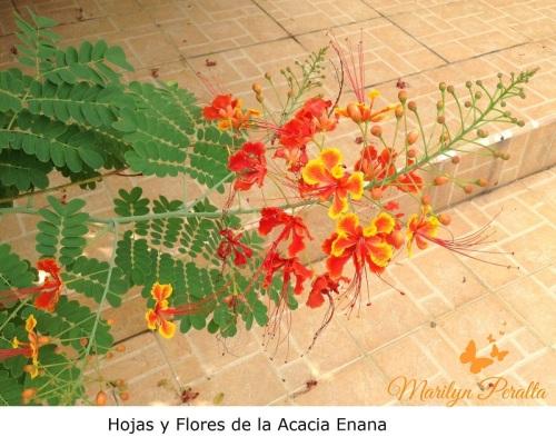 Hojas y Flores de la Acacia Enana