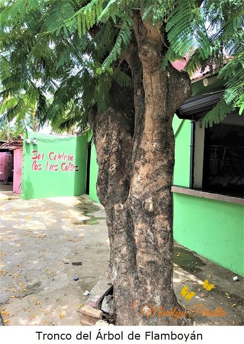 Tronco del Árbol de Flamboyán