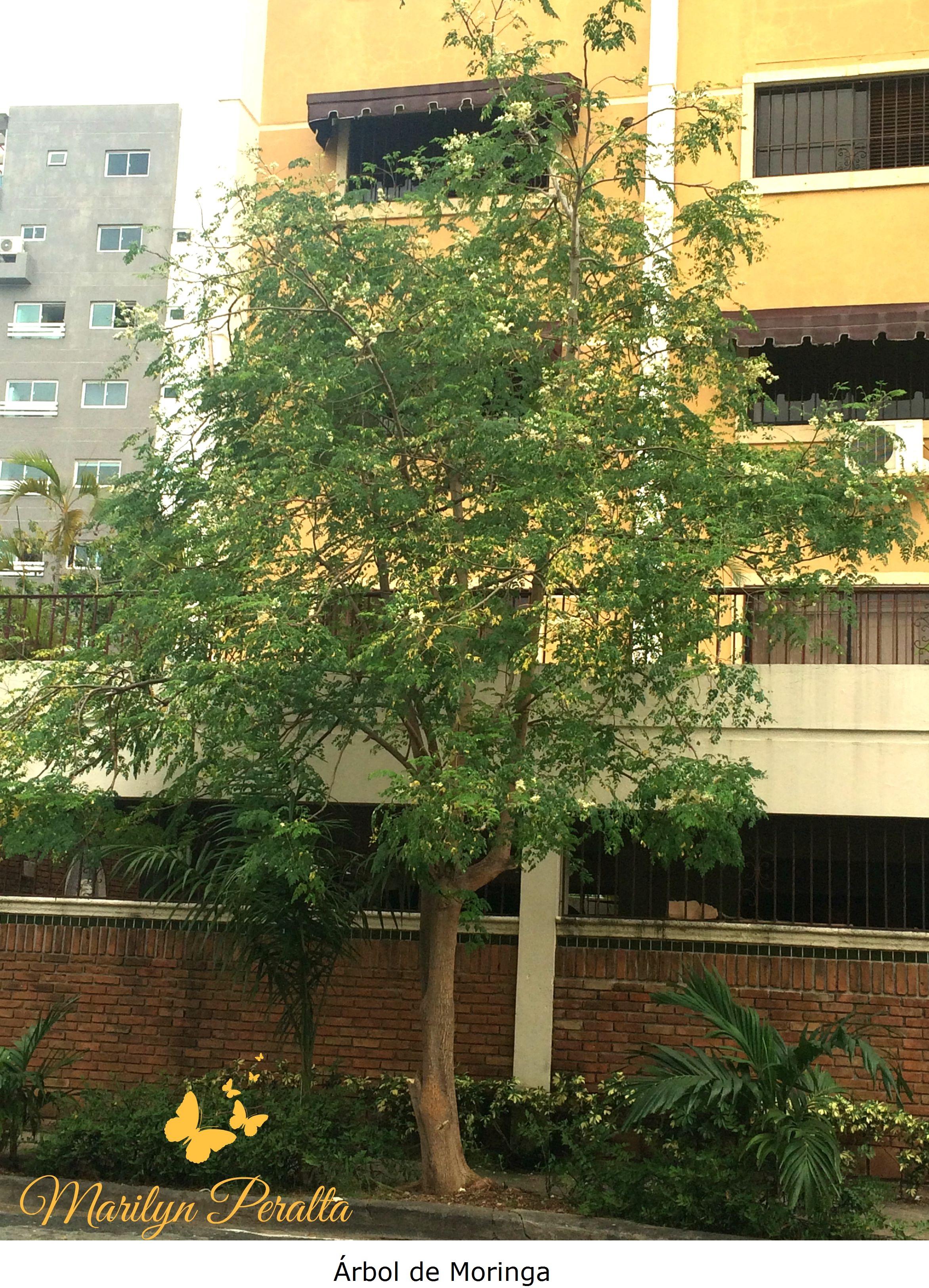 Rbol de moringa rboles y flores en rep blica dominicana for Arboles para jardin de hoja perenne
