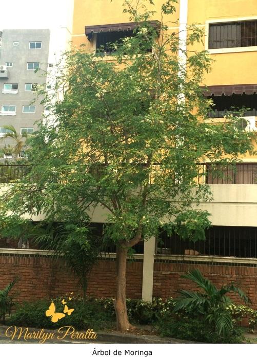 Rbol de moringa rboles y flores en rep blica dominicana for Arboles de hoja perenne que crece rapido