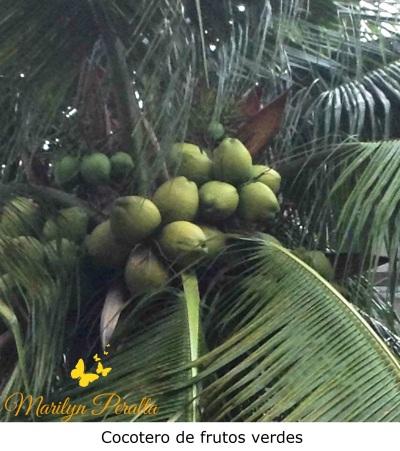 Cocotero de frutos verdes
