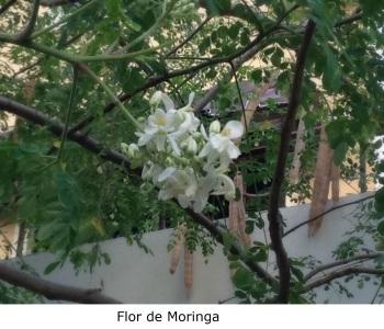Flor de la Moringa