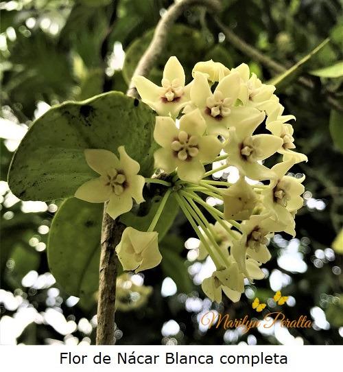 Flor de Nácar blanca