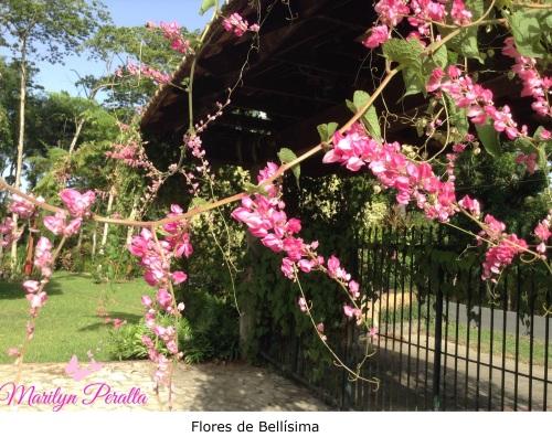 Trepadoras page 3 rboles y flores en rep blica dominicana for Planta ornamental blanca nieves