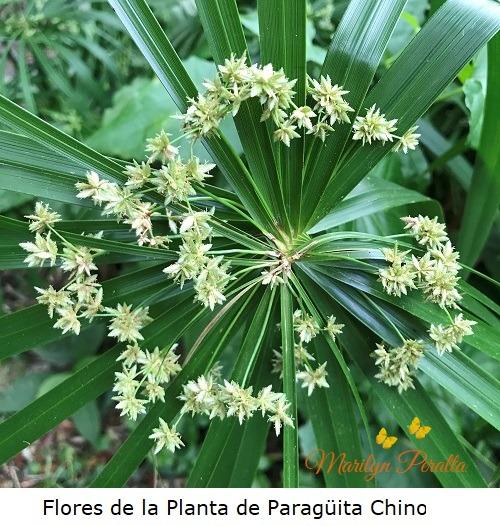 Flores de la Planta de Paraguita chino