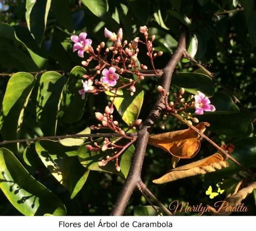 Flores del Árbol de carambola