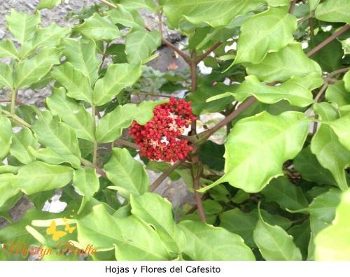 Hojas y flores del cafesito