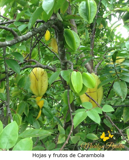 Hojas y Fruto de Carambola