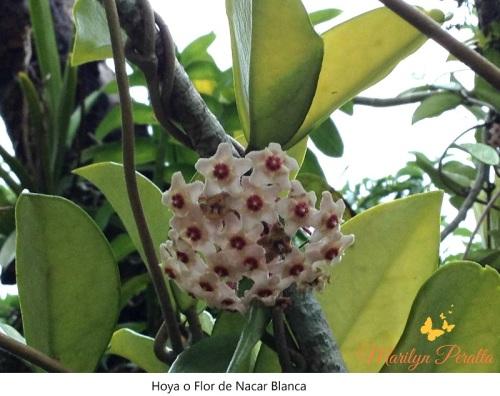 Hoya o Flor de Nacar blanca