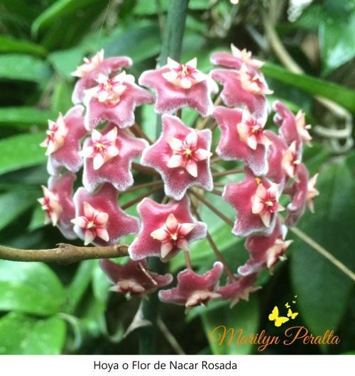 Hoya o Flor de Nacar rosada