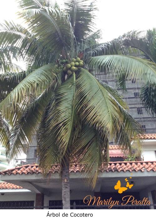 Mata de coco