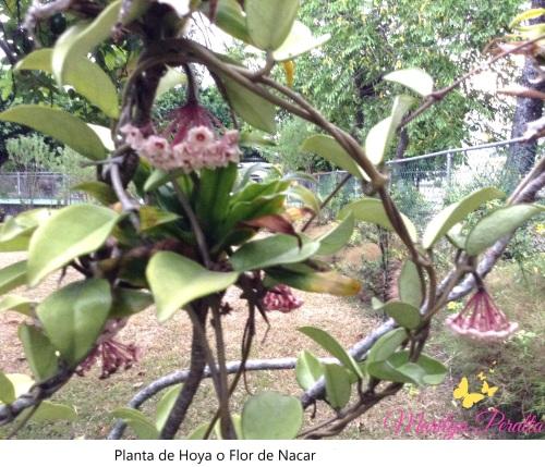 Mata de Hoya o Flor de Nacar