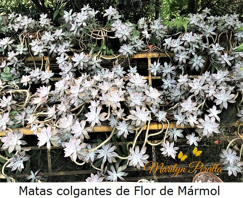 Matas colgantes de Flor de Marmol