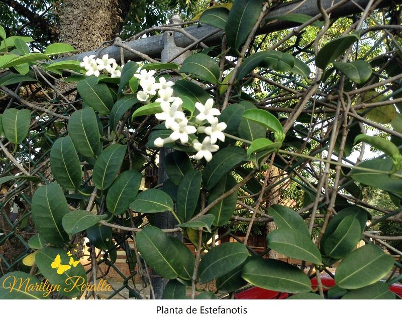 Estefanotis rboles y flores en rep blica dominicana for Plantas arbustos de hoja perenne