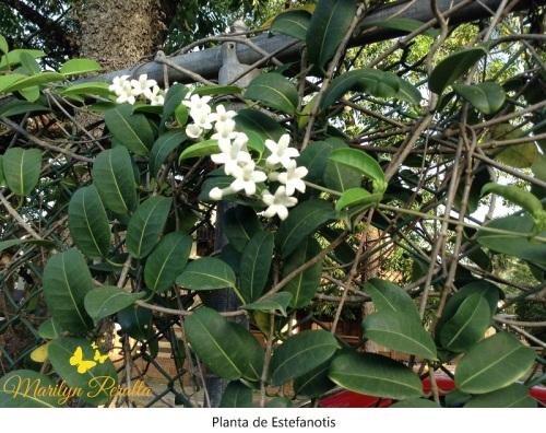 Planta de Estefanotis