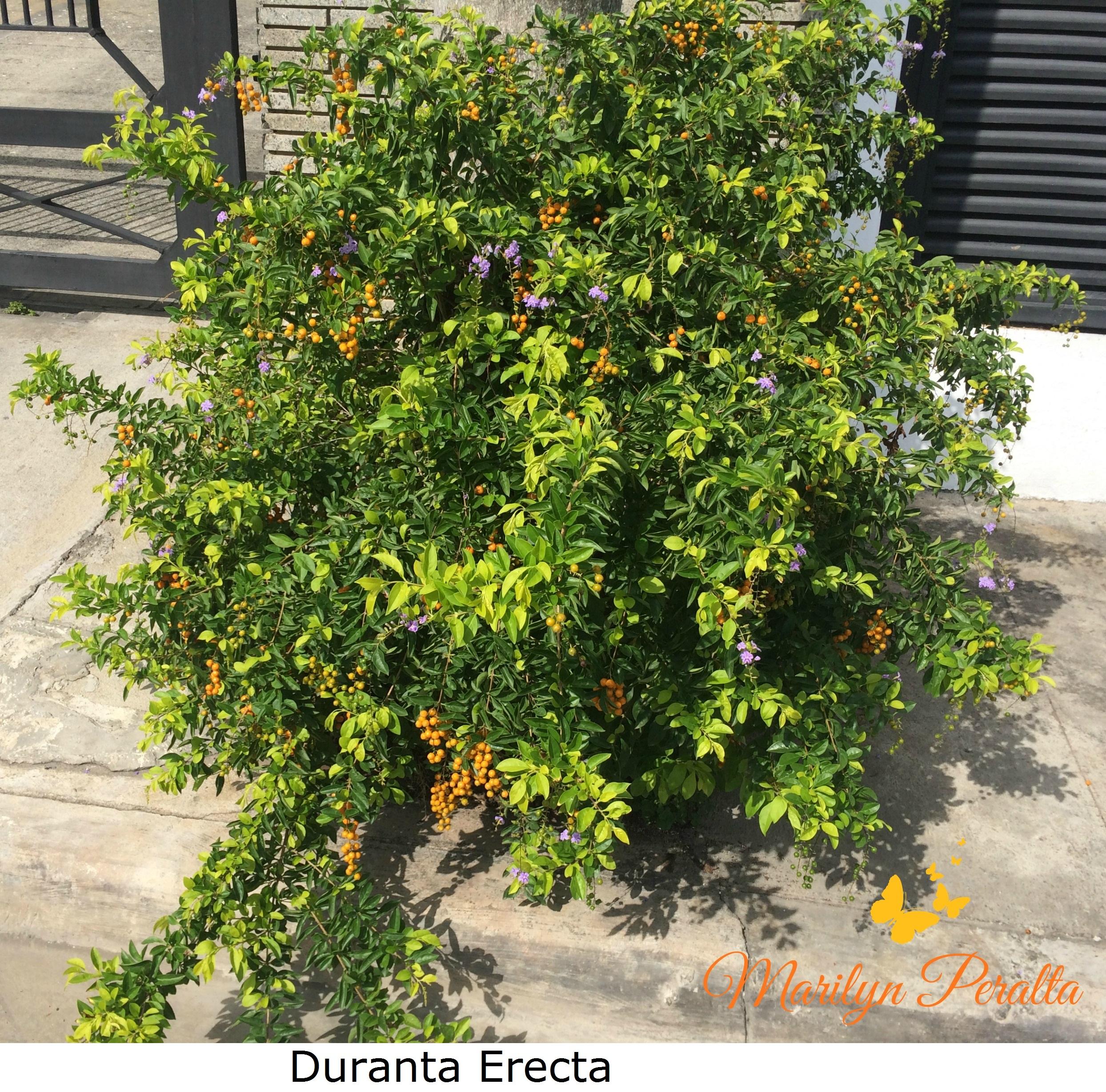 Familia verbenaceae rboles y flores en rep blica dominicana for Arboles ornamentales de hoja perenne