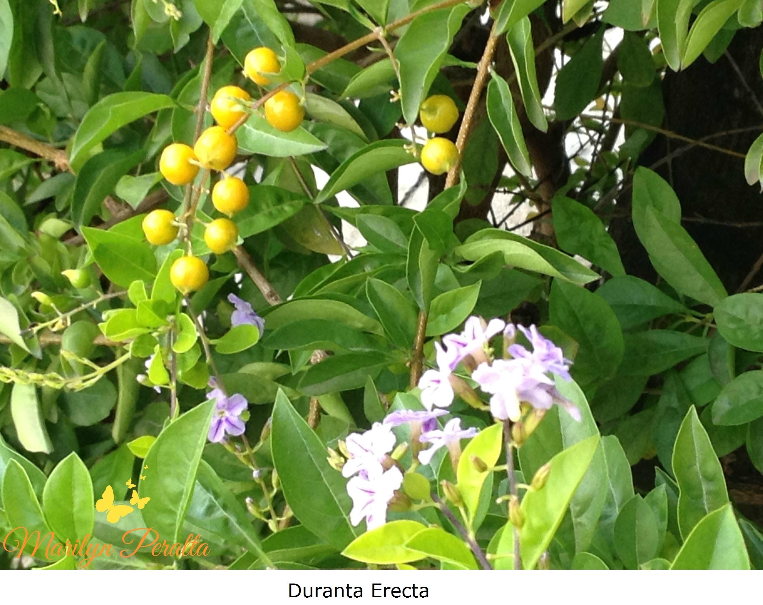 Bonao page 8 rboles y flores en rep blica dominicana for Arboles perennes en argentina