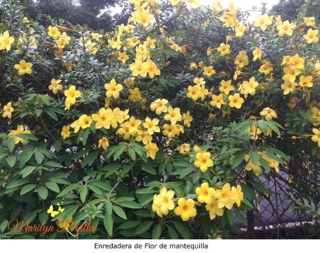 Enredadera de Flor de Mantequilla