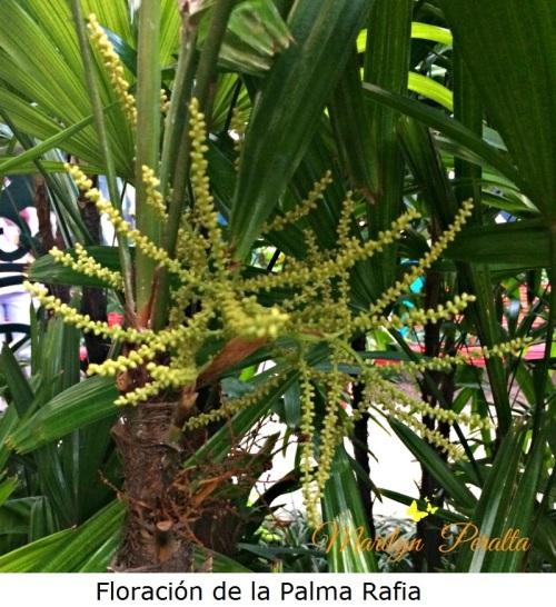 Floración de la Palma Rafia