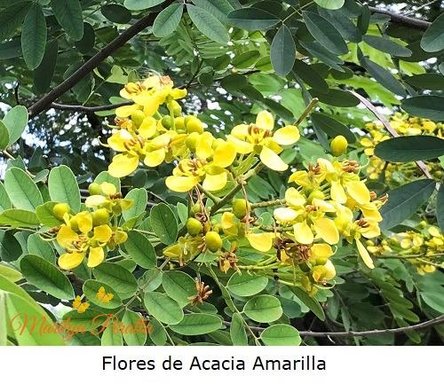 Flores de Acacia Amarilla