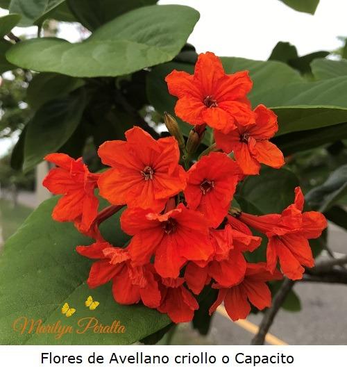 Flores del Avellano criollo o Capacito