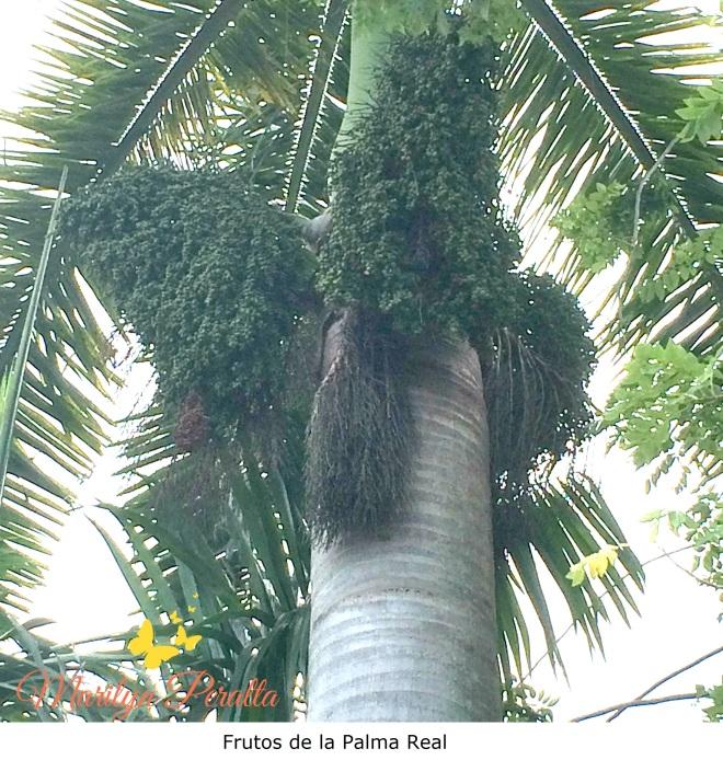 Frutos de la Palma Real