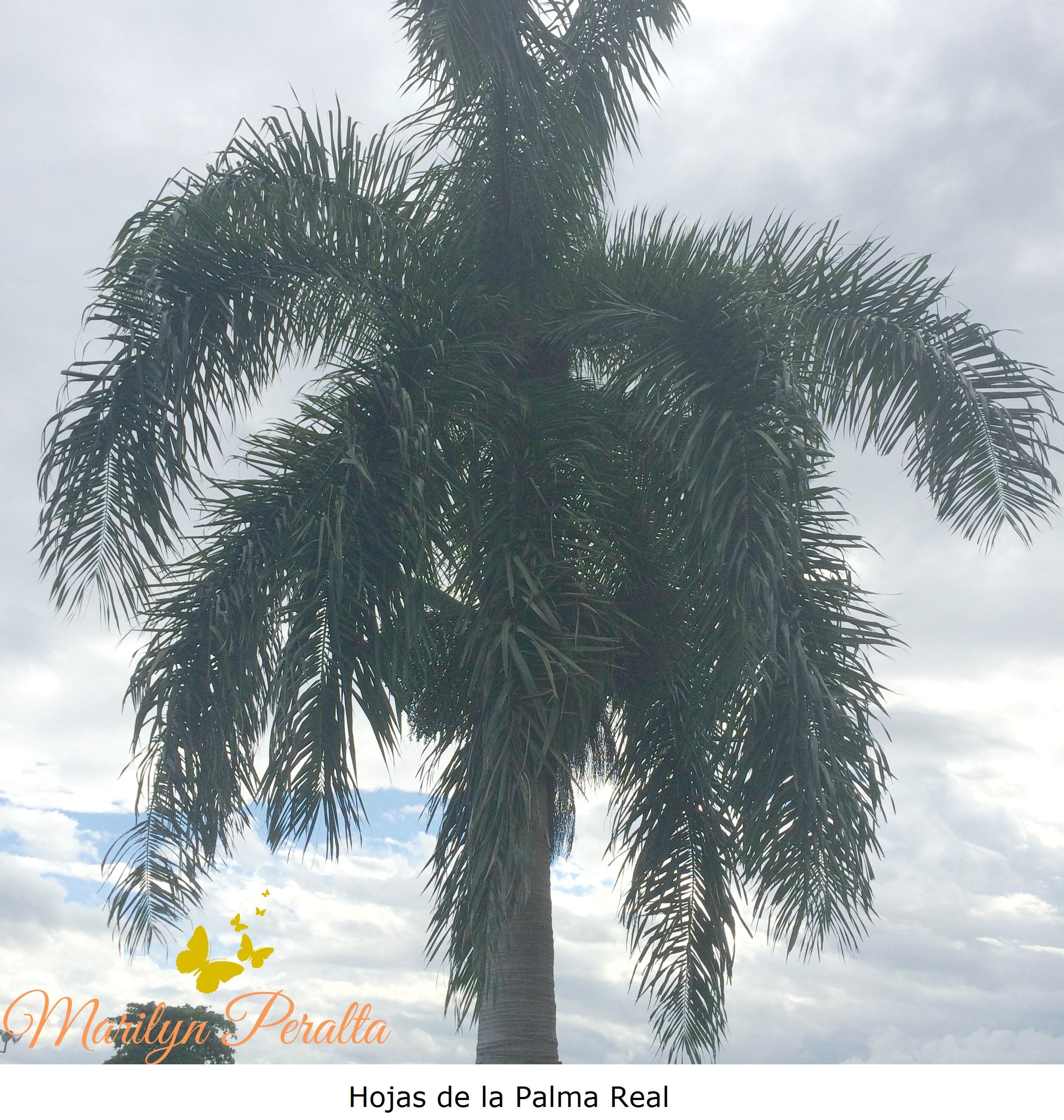 Palma Real – Árboles y Flores en República Dominicana