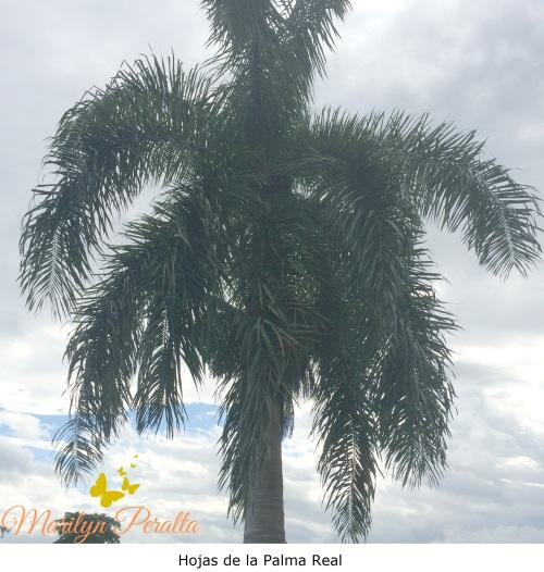 Hojas de la Palma Real