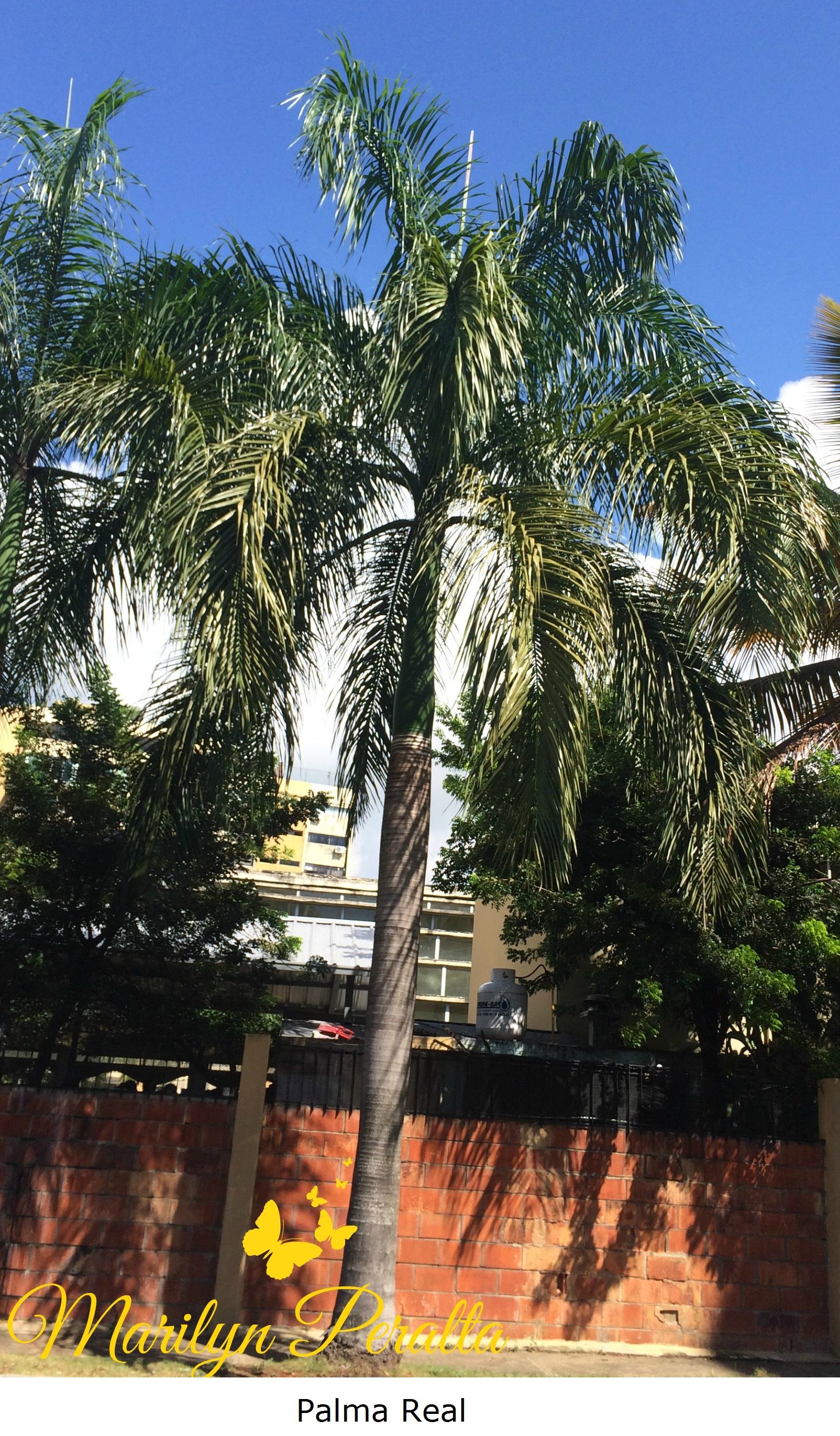 Palma real rboles y flores en rep blica dominicana for Arbol con raices y frutos
