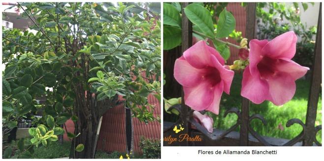 variedad-allamanda-blanchetti