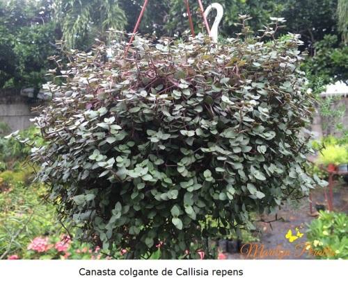 Canasta Colgante de Callisia repens