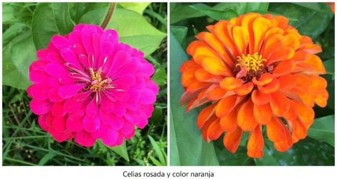 Celias rosada y color naranja