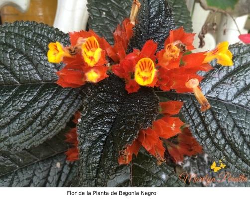 Flor de la Planta de Begonia negro