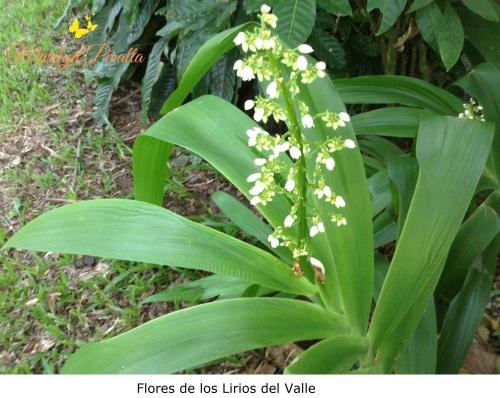 Flores de Lirios del Valle