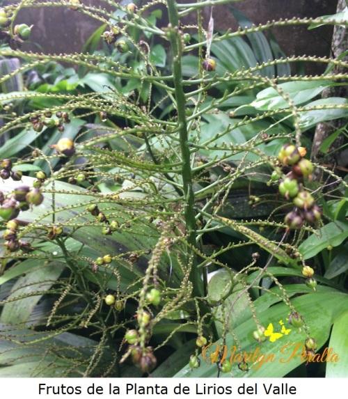 frutos-de-la-planta-de-lirios-del-valle