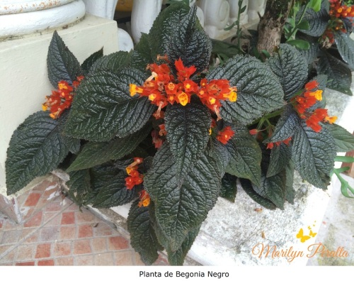 Planta de Begonia Negro