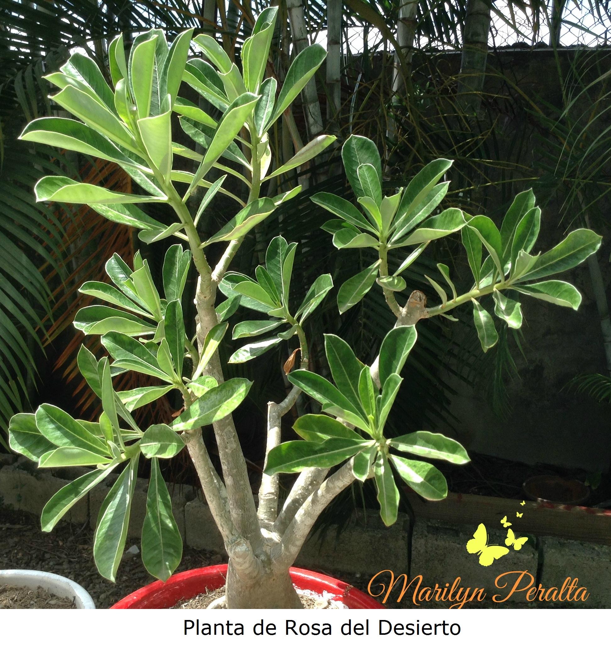 Cactus y suculentas rboles y flores en rep blica dominicana for Matas ornamentales